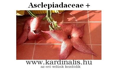 Asclepiadaceae_dögvirágok
