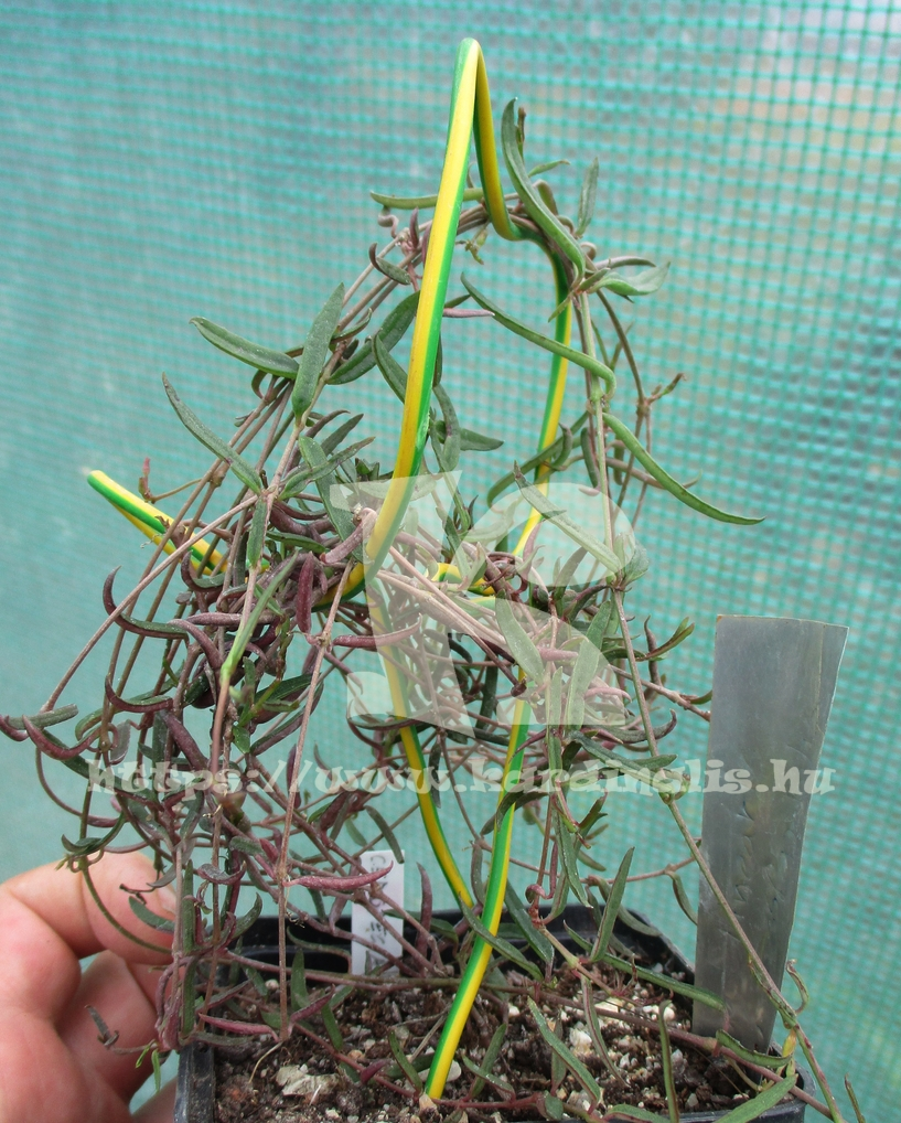 Ceropegi Linearis ssp. Debilis  növény eladó