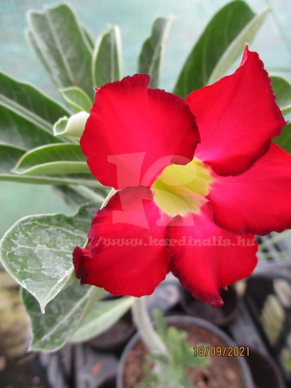 Adenium obesum, sivatagi rózsa mag eladó